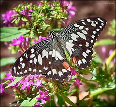 (2251) Papallona (QuimG) Tags: naturaleza macro nature natura panasonic mariposa papallona specialtouch quimg quimgranell joaquimgranell afcastell obresdart