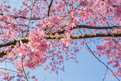 20160306-DSC_6006 (Kay's...) Tags: cherryblossom sakura   wuling wulingfarm