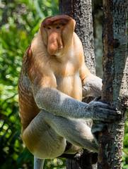 PROBOSCIS MONKEY (Male, Indigenous to Borneo) P3150526.jpg (Marc Weinberg) Tags: monkey philippines olympus borneo primate indigenous proboscismonkey getolympus olympusomdem1