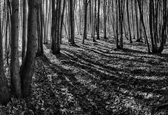 Cedar-panorama in B/W (marianna armata) Tags: trees light sunlight nature vertical forest landscape shadows diagonal cedar mariannaarmata p2280750