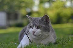 Coflek (ksenijaJ) Tags: pet animal cat spring outdoor explore