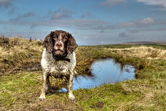 A Face of Innocence........ (Missy Jussy) Tags: portrait england sky dog water grass animal clouds canon landscape puddle northwest lancashire hills mollie spaniel springerspaniel rochdale canon1855 dogportrait englishspringer denshaw walkinglandscape cannon600d