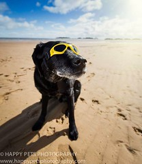 Dudley (barbara.jackson55) Tags: sea dog beach labrador dogphotography wellsnextthesea blacklabrador hinckley dogportrait petphotographer dogsunglasses dogphotographer earlshilton happypetsphotography