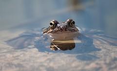 Ich bin`s, dein Frosch :) (eulenbilder) Tags: wasser explore teich frosch frühling frösche