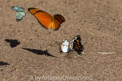 Argentinien_Insekten-63 (fotolulu2012) Tags: tierfoto