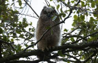 Juvenile Great Horned Owl (Bubo virginianus)