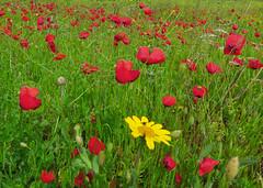 Uniqueness (Robyn Hooz) Tags: red italy green field grass yellow spider erba giallo tuscany campo fiori toscana rosso ragno