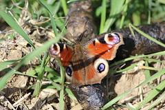 Nymphalis io (Marcell Krpti) Tags: fauna hungary wildlife peacock lepidoptera magyarorszg nymphalidae nymphalisio nymphalinae lepke europeanpeacock nappalipvaszem westernmtra kzpml