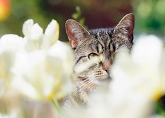 'Tabby in Tulips' (Jonathan Casey) Tags: flowers nikon tulips tabby f2 vr 200mm vr1 d810