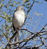 Northern Mockingbird (Mimus polyglottos); Catalina, AZ [Lou Feltz] (deserttoad) Tags: arizona tree bird nature animal desert behavior mockingbird wildbird