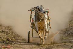 dusty race (TARIQ HAMEED SULEMANI) Tags: colors race culture bull cart tariq bullrace concordians tariqhameedsulemani jahanian
