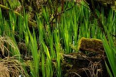 Austrieb der Wasser-Schwertlilie (Iris pseudacorus) im Gegenlicht; Schwabstedt-Hollbllhuus, Wildes Moor (18) (Chironius) Tags: iris germany deutschland wasser pantano peat swamp bottoms alemania marsh grn moor bog marais allemagne germania schleswigholstein sump gegenlicht ogie irispseudacorus iridaceae schwertlilie sumpf pomie schwertlilien  schwabstedt nordfriesland niemcy tourbire asparagales   turbera schwertliliengewchse pomienie spargelartige marcageuse szlezwigholsztyn