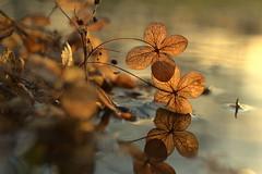 enlightenment (joy.jordan) Tags: light reflection texture puddle poetry bokeh hydrangea