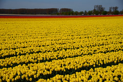 Dutch tulip fields (larry_antwerp) Tags: flower netherlands nederland tulip tulp hulst flowerbulb zandberg