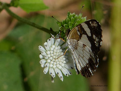 Whitened Crescent (Janatella leucodesma) near Paraiso, Panama, Panama (Ian_125) Tags: butterfly insect lepidoptera panama nymphalidae papilionoidea nymphalinae panamaprovince janatella melitaeini janatellaleucodesma radissonsummit whitenedcrescent