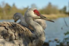 Sandhill Crane (EmmaPaddle) Tags: bird lens 50mm with takumar crane f14 delta columbia adapter m42 british sanctuary sandhill reifel supermulticoated