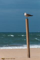 Gaviota Vigia (jcsperea) Tags: paisajes canon eos photo aves andalucia cordoba fotografia gaviotas playas 70d jcsperea