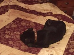 Cai (MerlinAnimalRescue) Tags: rescue dog animal wales north bull terrier merlin staffie staffordshire sbt