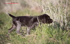 Blazer at 7 Weeks (Fly to Water) Tags: dog brown male field hair puppy point wire pointer hunting canine wirehaired german liver deutsch drahthaar