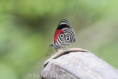 Argentinien_Insekten-47 (fotolulu2012) Tags: tierfoto