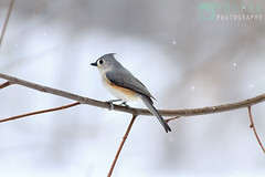 Charming (Proper Photography) Tags: trees winter wild snow cold tree bird nature canon frozen cool wildlife freezing snowfall mutedcolors tuftedtitmouse naturephotography 2016 wildbird canoneos7d canon7d