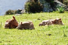 Siesta (Andrea Deiana) Tags: nature animals sony natura riposo siesta animali vitelli allevamento sonyalpha sonyalpha68