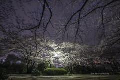 Cherry blossoms scattered wind  (yoko.wannwannmaru) Tags: longexposure light night wind flash blossoms cherryblossoms shaking fullbloom 20160407dsc3053n