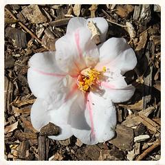 National Arboretum ~ fallen blossom - HTT! (karma (Karen)) Tags: texture washingtondc blossoms paths squared nationalarboretum htt 4spring