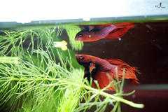 Betta (fotos.fcolopez) Tags: pez acuario pezbetta