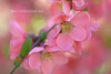 Pink Spring Marvels (Jenny Rainbow (jenny-rainbow.pixels.com)) Tags: pink red plant flower detail macro tree nature floral closeup garden season botanical japanese spring bush flora branch natural blossom orchard petal growth vegetation bloom flowering blossoming botany japanesequince japonica looming quince flourish chaenomeles pinkblossom springgarden flourishing quincetree floralart speciosa springblossom springbloom pinkbloom japanesequinceblossom jennyrainbowfineartphotography pinkjapanesequince