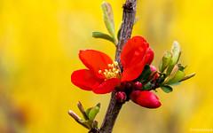 Zierquitte vor Ginster (novofotoo) Tags: bayern deutschland natur blumen chaenomeles beilngries zierquitte rosengewchse