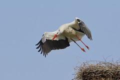 Ich bin mal weg (frodul) Tags: bird start deutschland nest outdoor wildlife natur paar hannover ni horst stork vogel storch flgel frhjahr abflug ciconiaciconia federkleid weisstorch