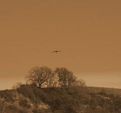 Clermont le Fort (31) (FGuillou) Tags: pentax libert paysage 31 oiseau liberta buse rapaci draison