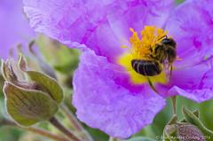 Macro_La Tossa 038 (jomendro) Tags: macro planta animals flor natura plantes macrofotografa abelles latossademontbui