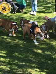 http://www.collectibulldogs.com/blog/the-bulldog-walk-1-may-2016 #bulldogblogger #bulldogs #sussex #lewis #meetup #blog #myblog #blogger #Brightonblogger #donations #raffle #greatdayout #sunday (eiffion.ashdown78) Tags: sussex blog meetup sunday lewis blogger bulldogs donations raffle myblog greatdayout brightonblogger bulldogblogger