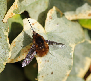 Dark-edged bee-fly (Bombylius major) [Explored!]