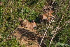 FoxSBahn-0182.jpg (mono-foto) Tags: wien tiere fuchs säugetiere