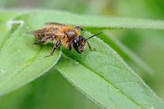 Honeybee? (Marcel`Westland) Tags: wild summer flower macro nature dutch field animal insect flying flora nikon dof outdoor details 100mm bee tokina solitary depth 2014 d90 solitair tokina100mmf28atxprod