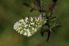 orange tip, brasenose woods Oxford. (poacher rtd) Tags: butterfly butterflies oxford oxfordshire brasenose orangetip oxfordcity brasenosewoods brasenosewoodsoxford butterfliesofbrasenose