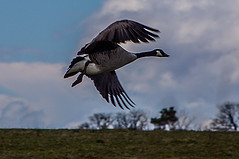 Canada Goose Coming Into Land (Brian Travelling) Tags: greatbritain sky canada green bird nature grass clouds outdoors scotland greenock scenery natural pentax britain outdoor wildlife ngc flock flight goose landing canadagoose inverclyde lochthom clydemuirshielregionalpark pentaxkr