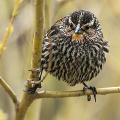 _DSC8021-Edit (doug.metcalfe1) Tags: ontario bird nature spring highpark outdoor redwingblackbird 2016 dougmetcalfe