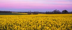 canola sunset (Paul Millet) Tags: flowers blue sunset field yellow digital fleurs canon de landscape eos soleil brittany bretagne hour paysage campagne rennes champ canola couch colza 2016 50d