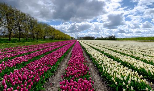 Tulips in Grosthuizen