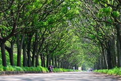 ~~  Chinaberry Green Tunnel (Shangfu Dai) Tags: road tree landscape nikon taiwan formosa   meliaazedarach chinaberry    greentunnel  af80200mmf28d  d800e
