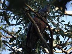 Female Gang Gang Cockatoo (aussielyn6) Tags: tree bird gum native australian gang cockatoo