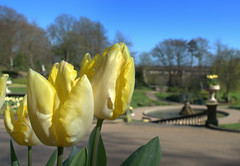 Yellow tulips at Miller Park, Preston (Tony Worrall Foto) Tags: park county uk flowers england plants nature beauty yellow outdoors spring nice stream colours tour open place tulips northwest unitedkingdom near country north victorian grow visit location lancashire pots area bloom vase preston ornate northern update millerpark attraction lancs welovethenorth