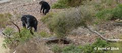 Monarto Zoo - Chimp's (Mum & Babies) (samcol6) Tags: nature animals lumix zoo sam chimp south australia panasonic chimpanzee col 2016 monarto fz150 samcol6