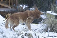 Spike-6472 (paul.roumen) Tags: winter sneeuw spike thuis