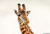 Girafa (dragoms) Tags: africa mammal kenya wildlife nairobi giraffe girafa mamífero giraffacamelopardalis nairobipark quénia dragoms