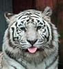 witte tijger amersfoort JN6A7679 (j.a.kok) Tags: tiger tijger whitetiger amersfoort bengaltiger wittetijger pantheratigristigris